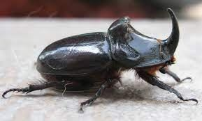 orszarvu-bogar