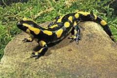 szalamandra